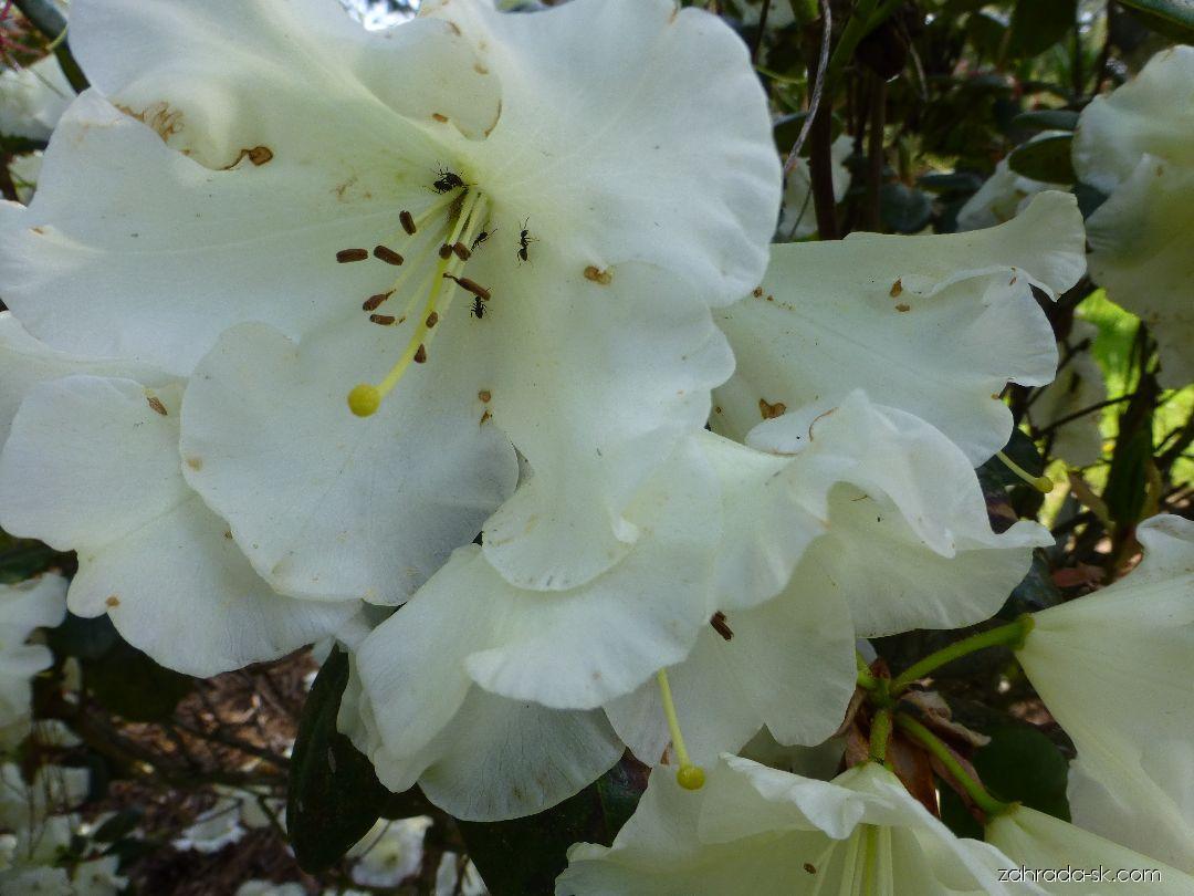 Pěnišník Rothenburg - květ (Rhododendron)