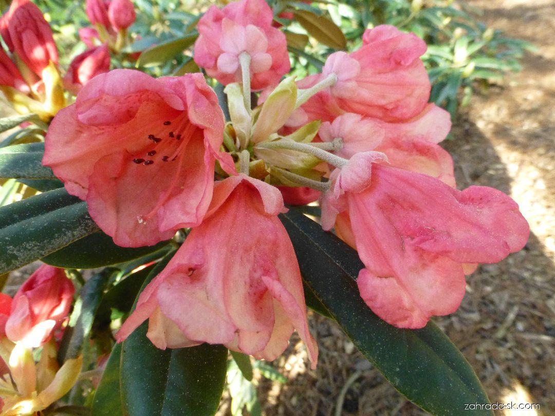 Pěnišník Shrimp Girl (Rhododendron)