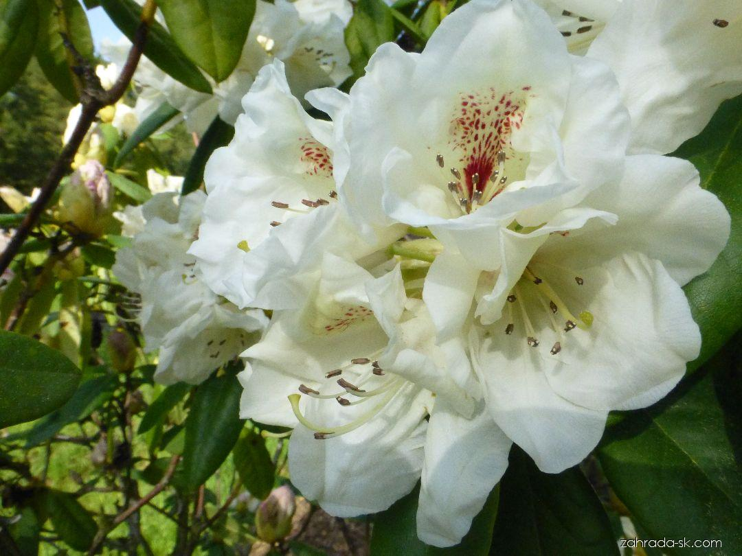 Rhododendron Harvest Moon (rododendron)