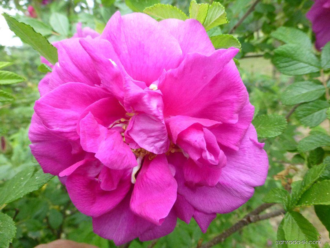 Ruža - Rosa Roseraie de LHay