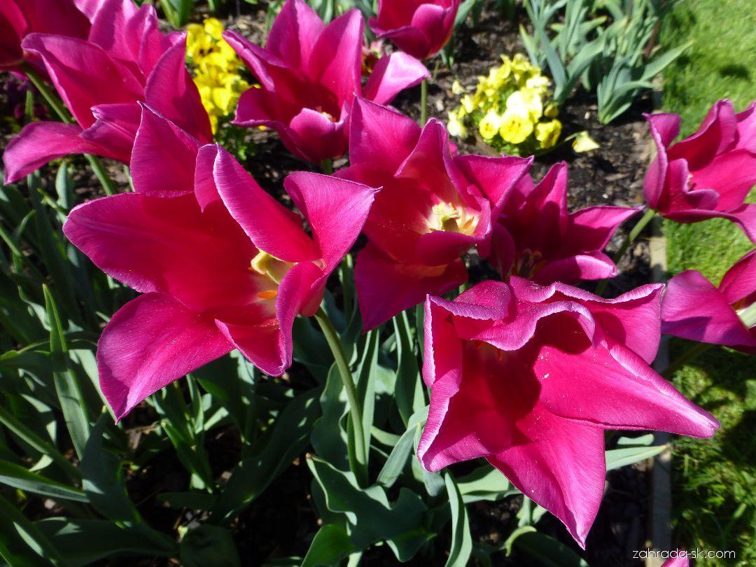 Tulipán - Tulipa Mariette