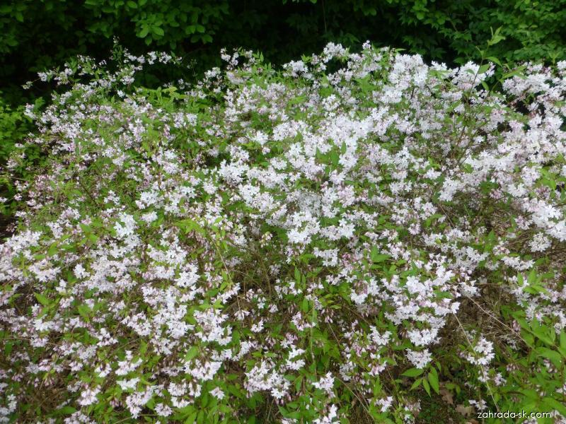 Trojpuk načervenalý Kalmiiflora (Deutzia purpurascens)