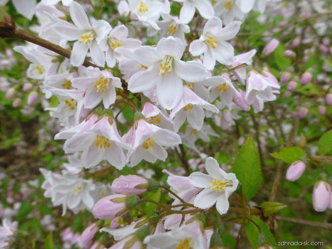 Trojpuk načervenalý Kalmiiflora - větévka s květy (Deutzia purpurascens)