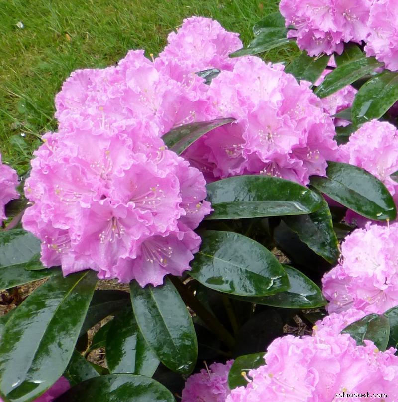 Pěnišník Petr (Rhododendron)