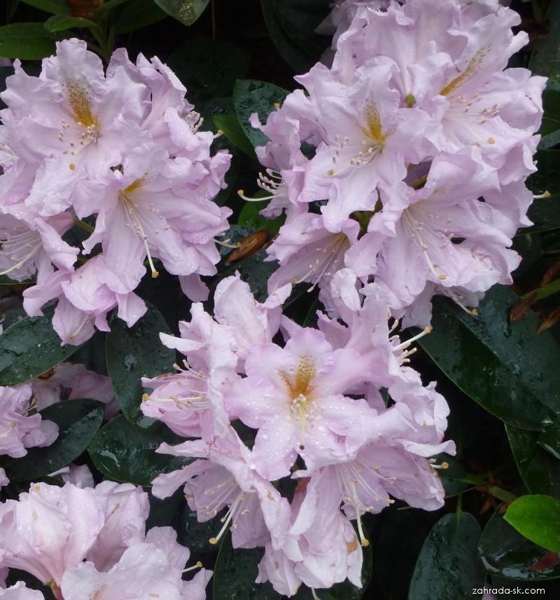 Pěnišník Dagmar - květy (Rhododendron)