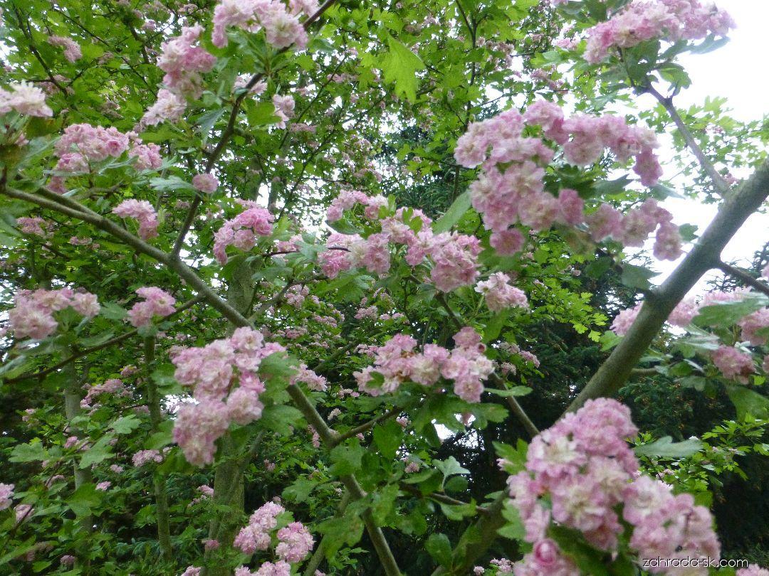 Hloh obecný Masekii - v květu (Crataegus laevigata)