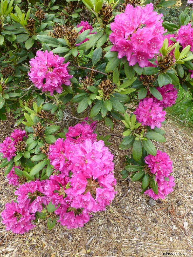 Rododendron - Rhododendron Darius