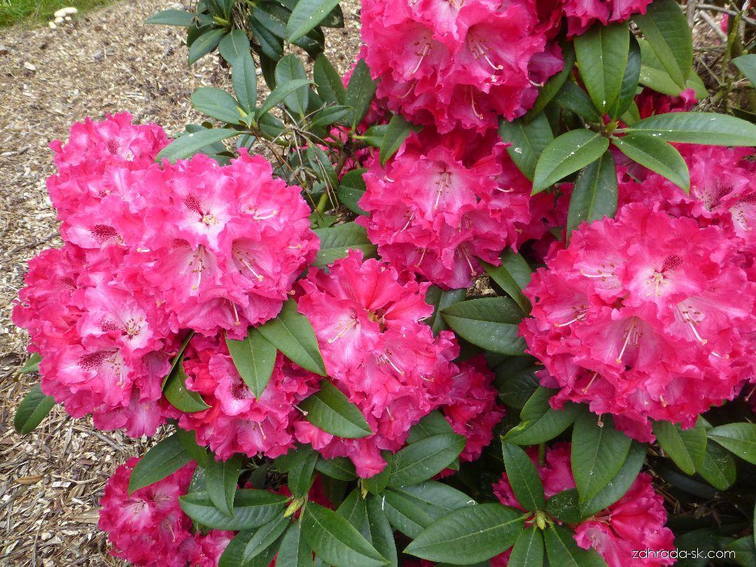 Pěnišník Nofretete (Rhododendron)