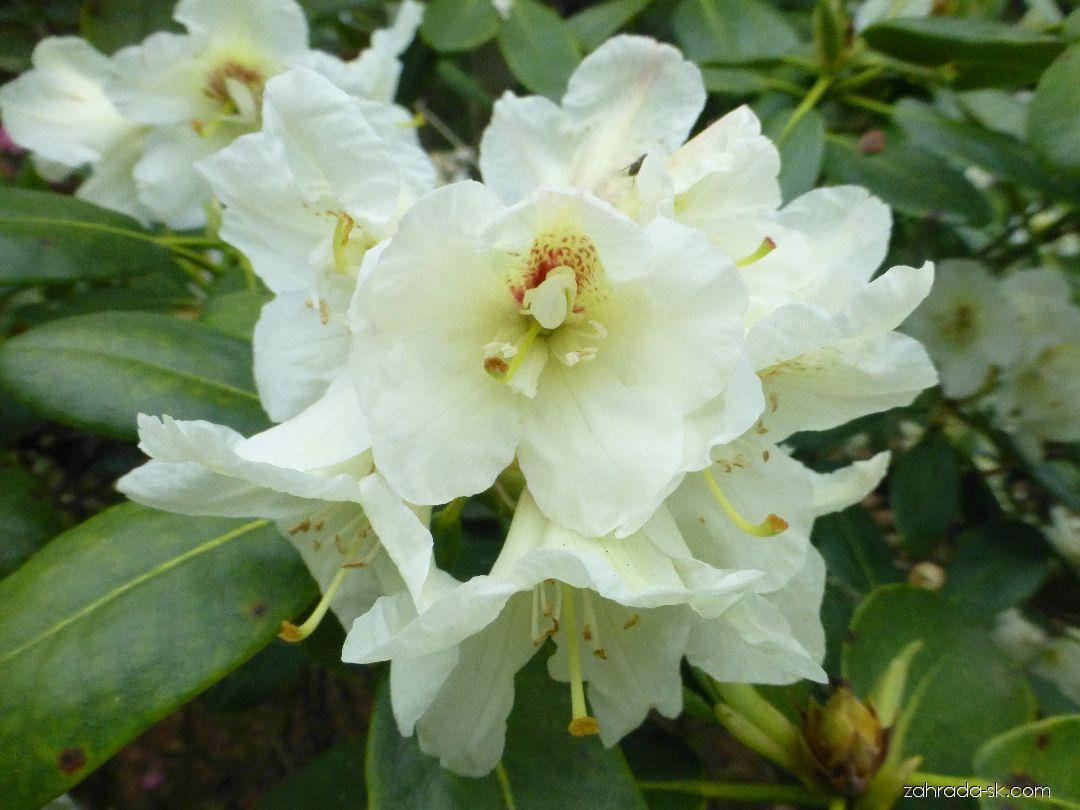 Pěnišník Füllhorn - květ (Rhododendron)