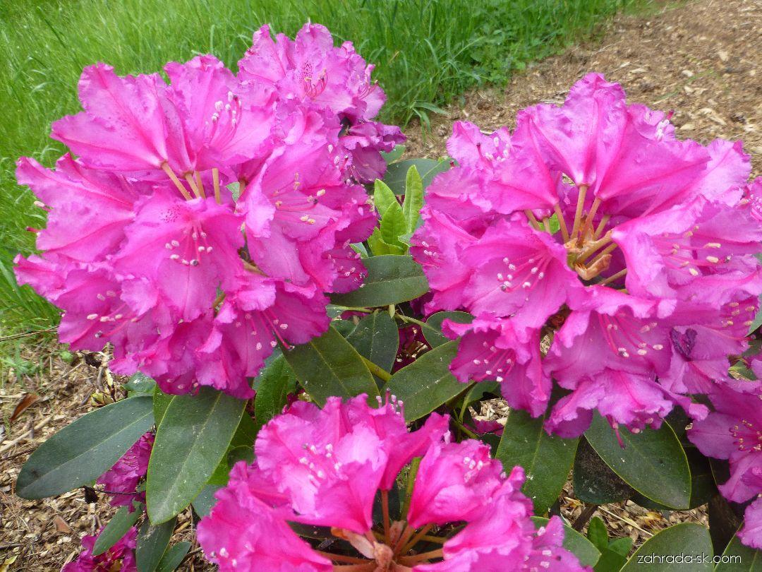 Pěnišník Delila (Rhododendron)