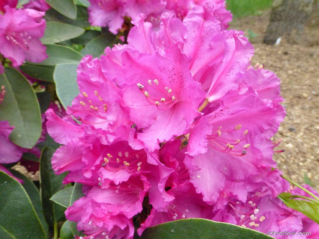 Pěnišník Delila - květ (Rhododendron)