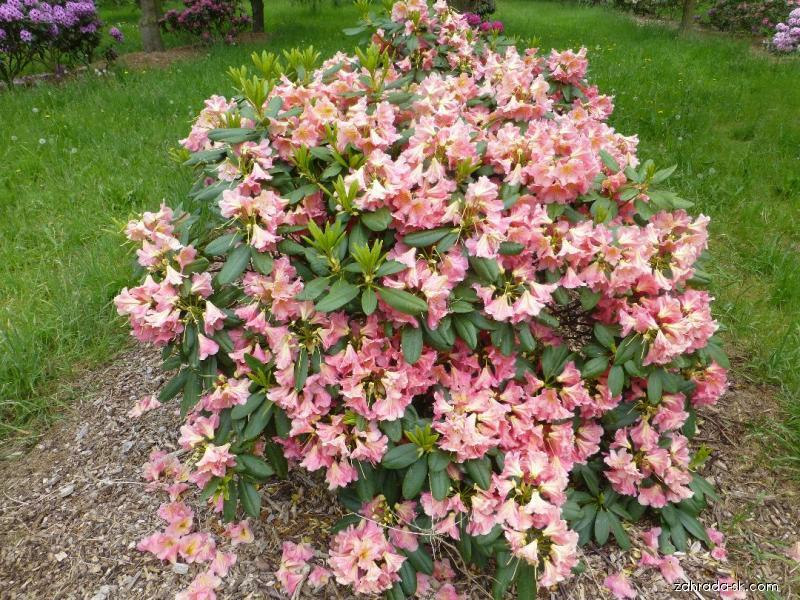 Rododendron - Rhododendron Dolcemente