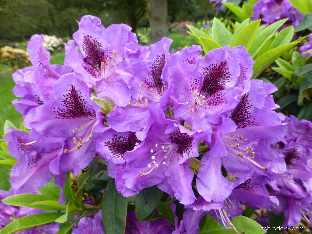 Rhododendron Blue Boy (rododendron)