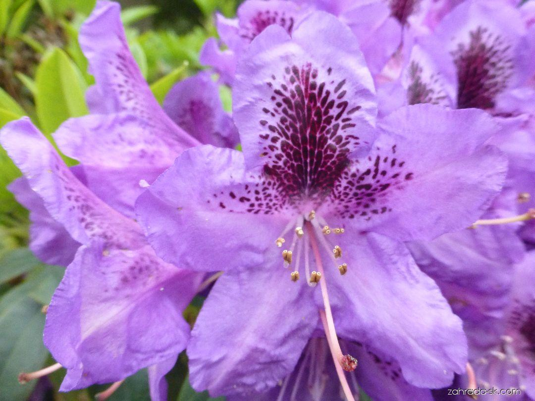 Rododendron - Rhododendron Blue Boy