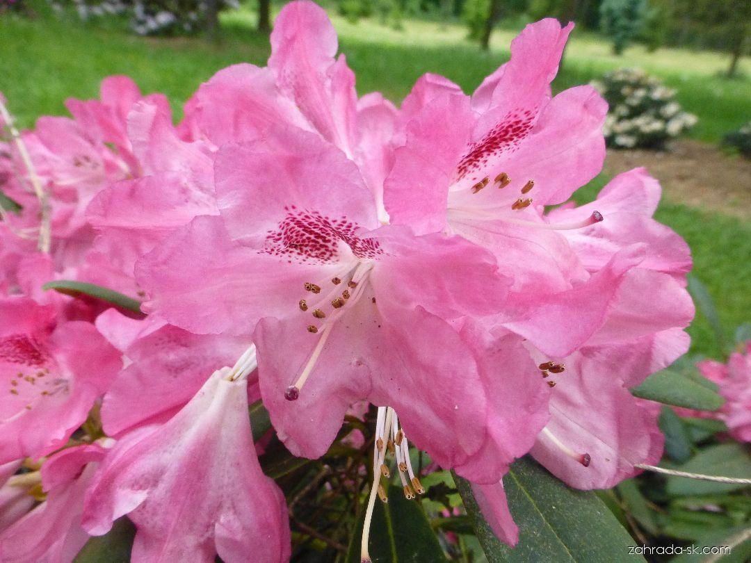 Rododendron - Rhododendron Clivia
