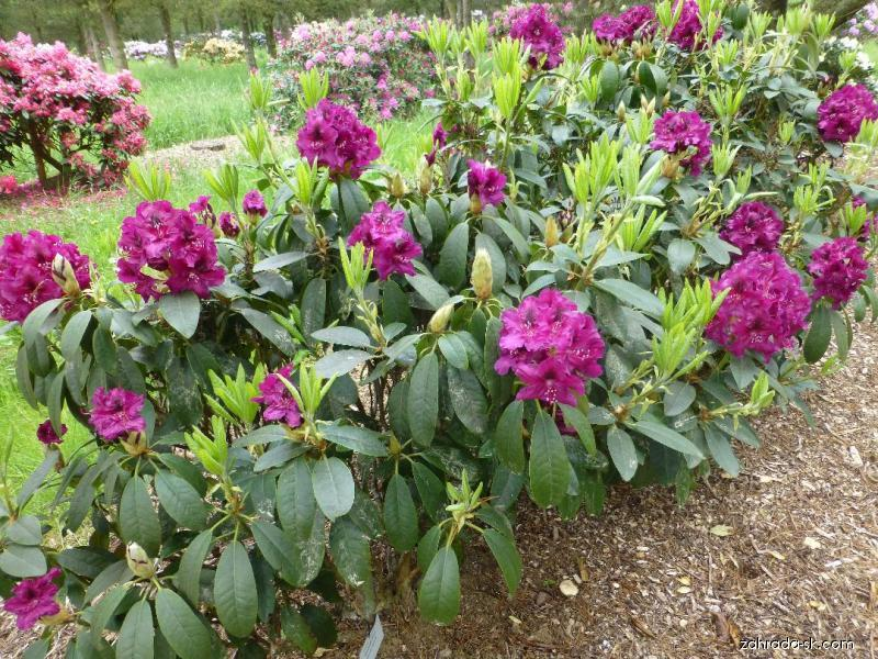 Rododendron - Rhododendron Olin O. Dobbs
