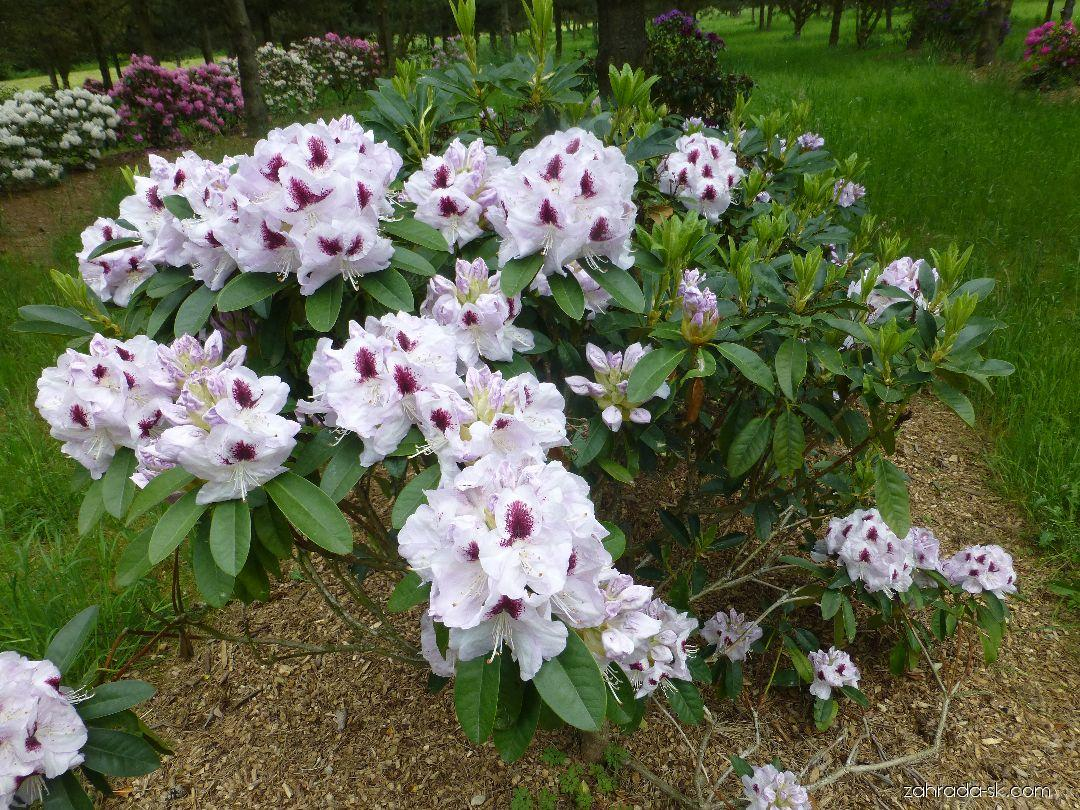 Rhododendron Marsala (rododendron)