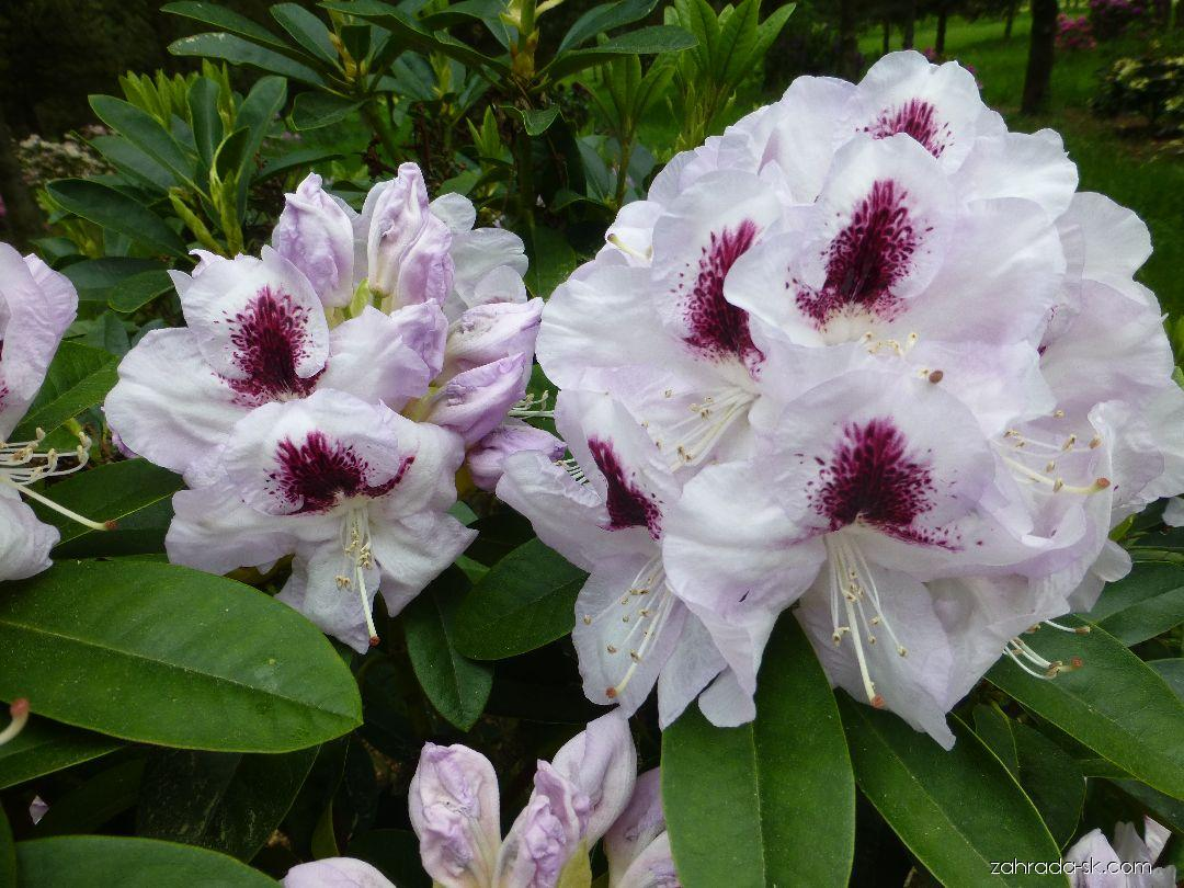 Rododendron - Rhododendron Marsala