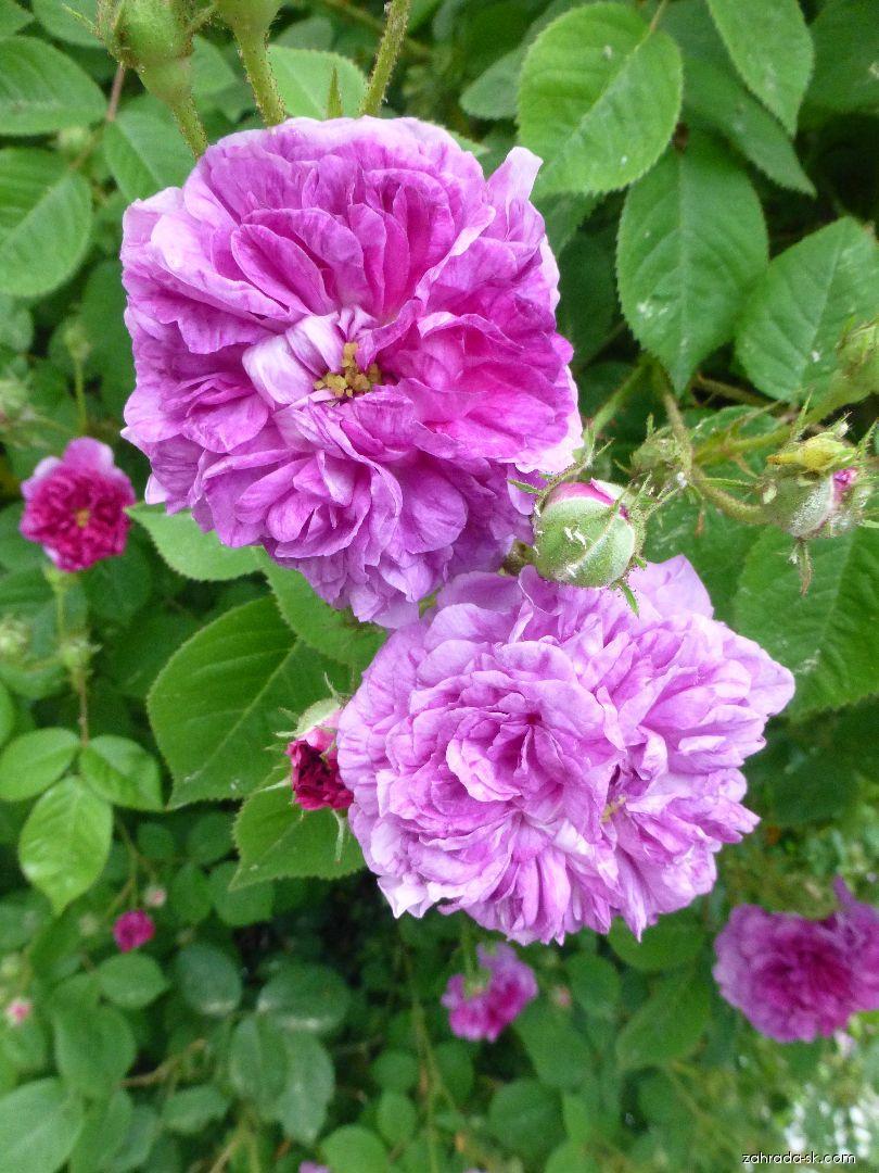 Ruža - Rosa Turner s Crimson Rambler