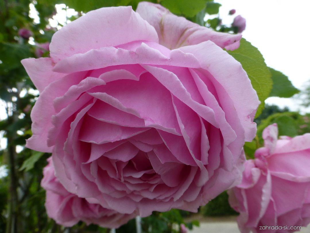 Ruža - Rosa Tolstoj
