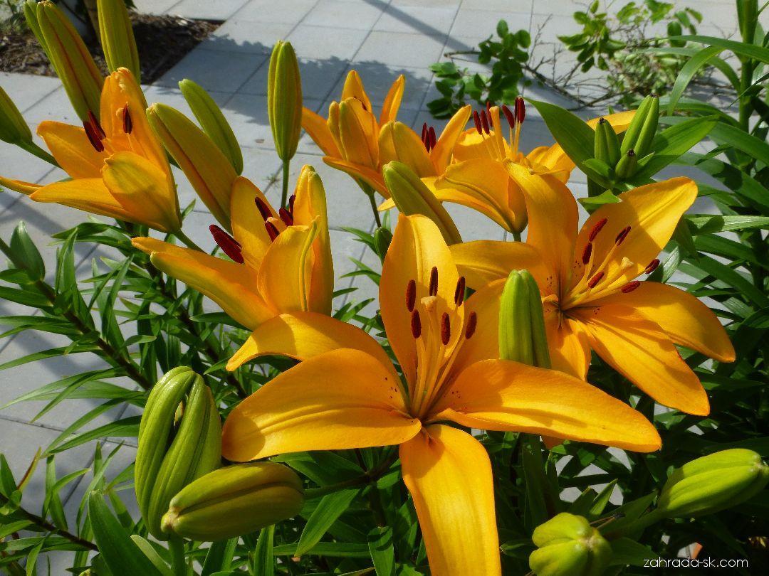 Ľalia - Lilium x hybridum Márinka