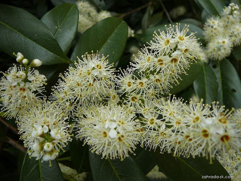 Bobkovišeň - květ (Prunus laurocerasus)