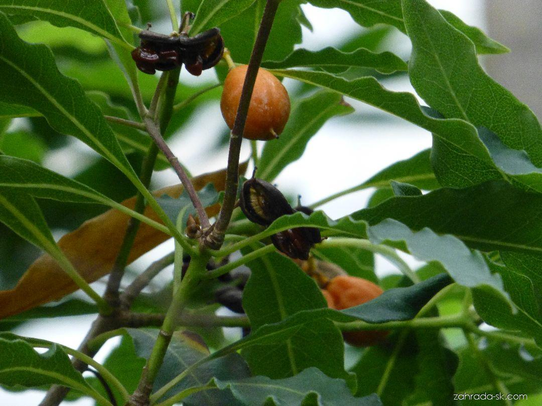 Slizoplod zvlněný - větévka s plody (Pittosporum undulatum)