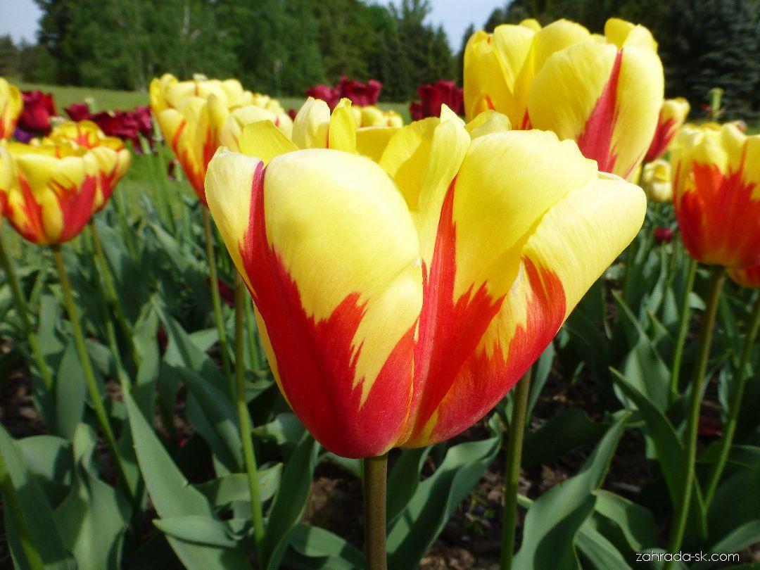 Tulipán - Tulipa Holland Quenn