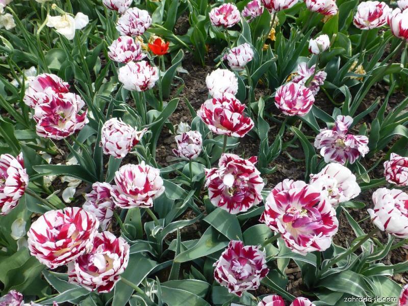 Tulipán - Tulipa Carnaval de Nice