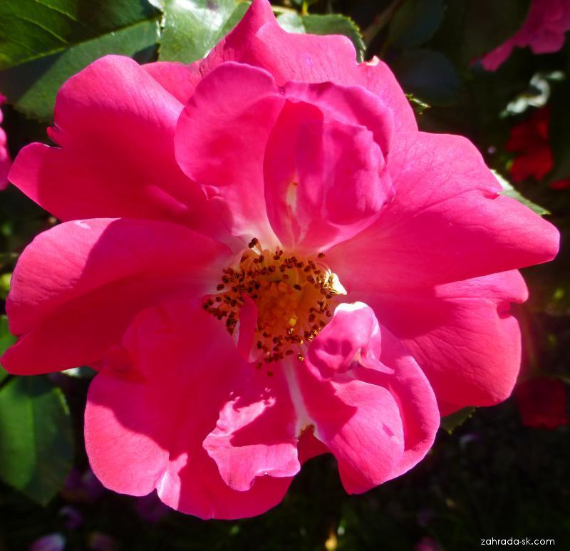 Růže Sinea - Mnohokvěté růže - květ (Rosa)