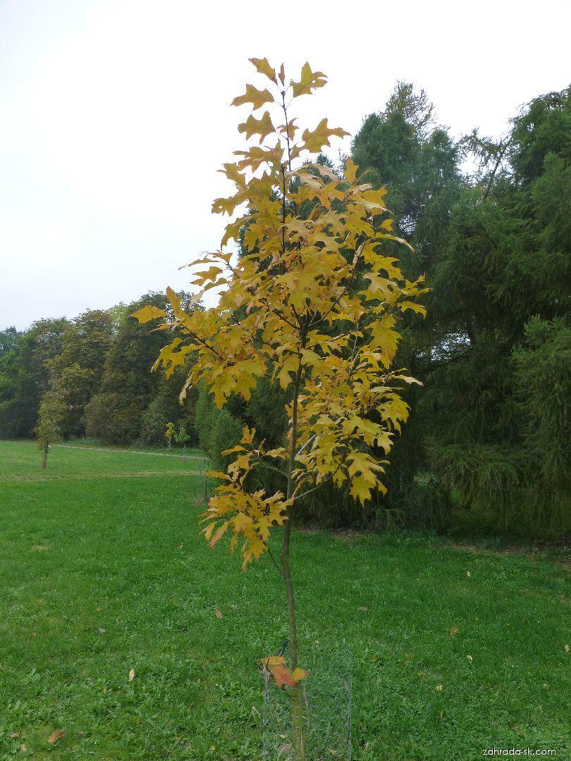 Dub - habitus na podzim (Quercus x fernaldii)