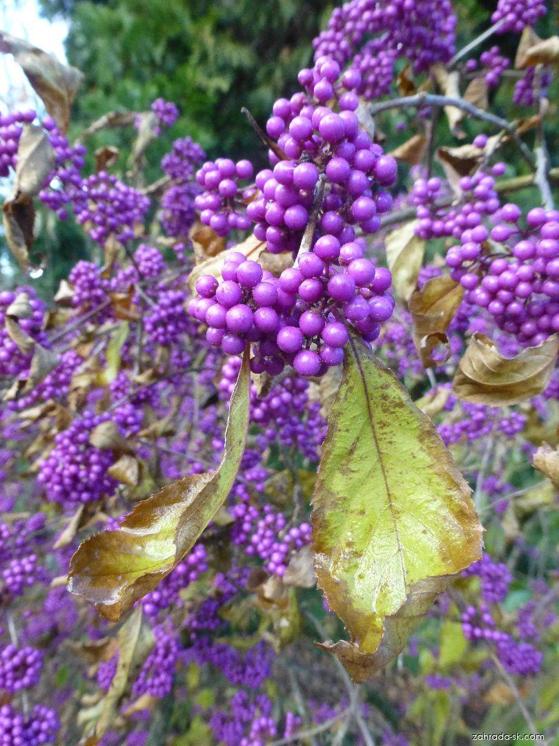 Krásnoplodka Bodinierova - větévky s plody (Callicarpa bodinieri var giraldii)