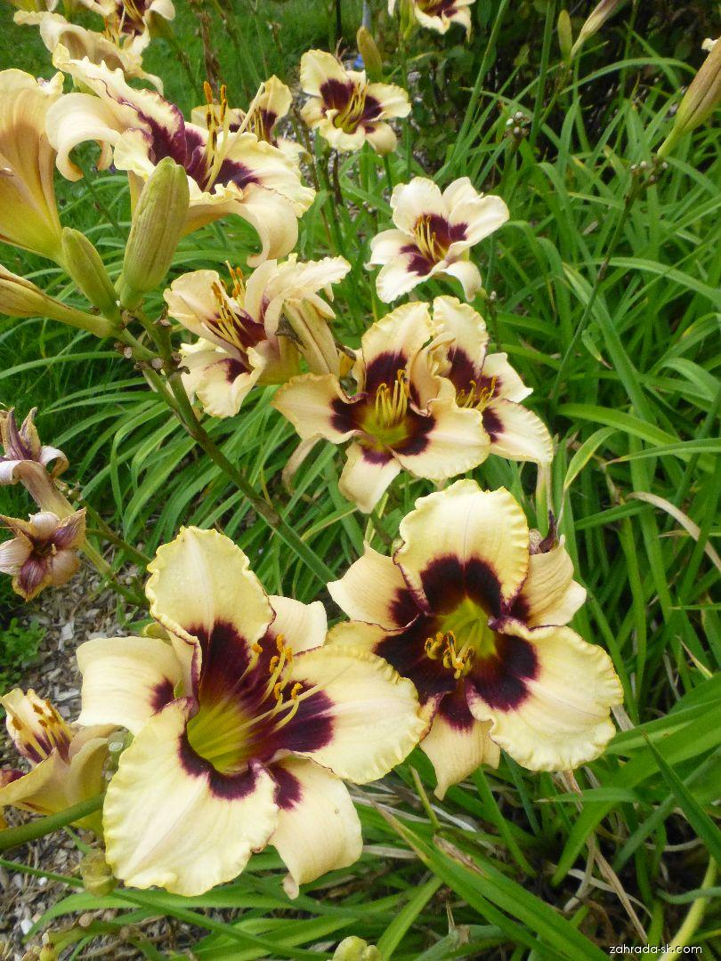 Hemerocallis Piano Man (ľaliovka)