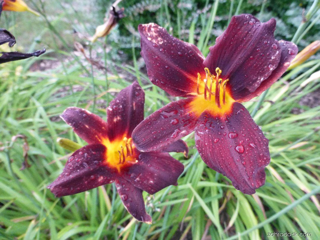Hemerocallis Congo Beauty (ľaliovka)