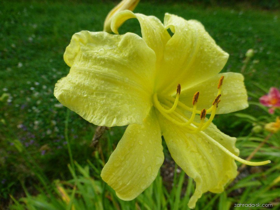 Ľaliovka - Hemerocallis Missouri Beauty