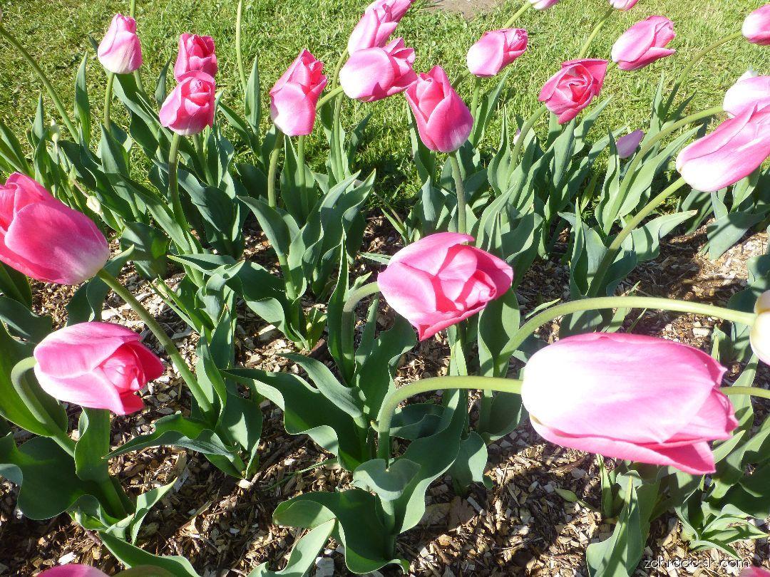 Tulipán - Tulipa Dynasty
