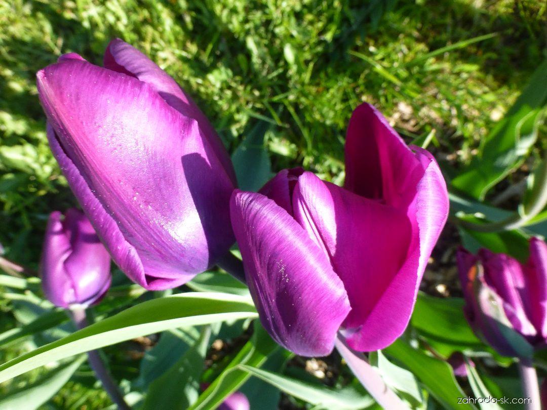 Tulipán - Tulipa Purple Rain