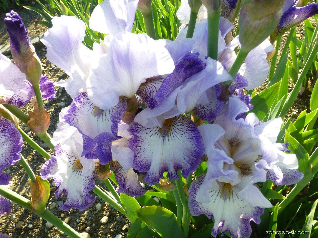 Kosatec záhradný - Iris barbata Spinning Wheel