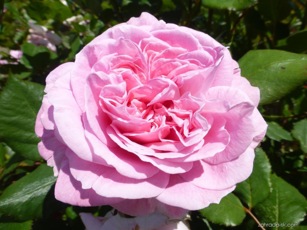 Ruža - Rosa Rosengräfin Marie Henriette