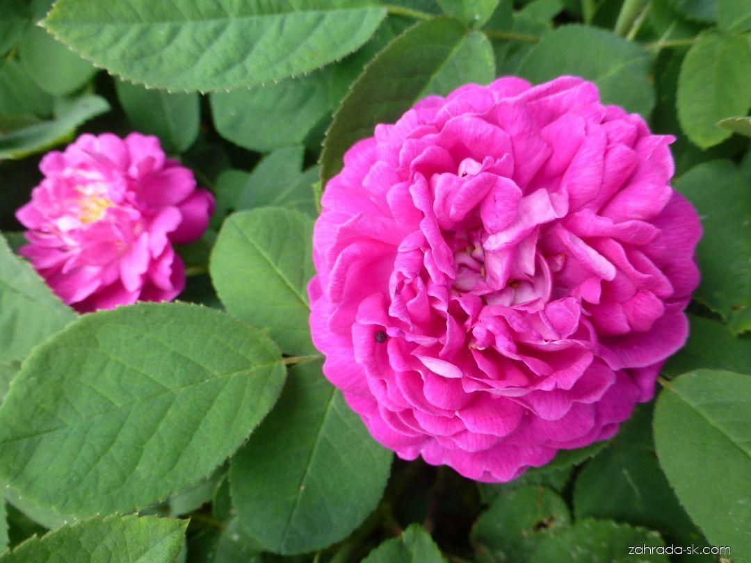Ruža - Rosa Rose de Resht