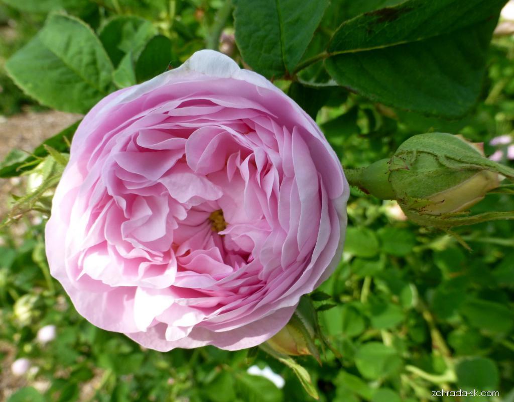 Ruža - Rosa De Schelfhout