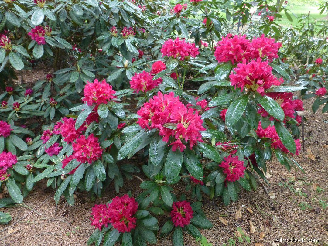 Rododendron - Rhododendron Humoreska
