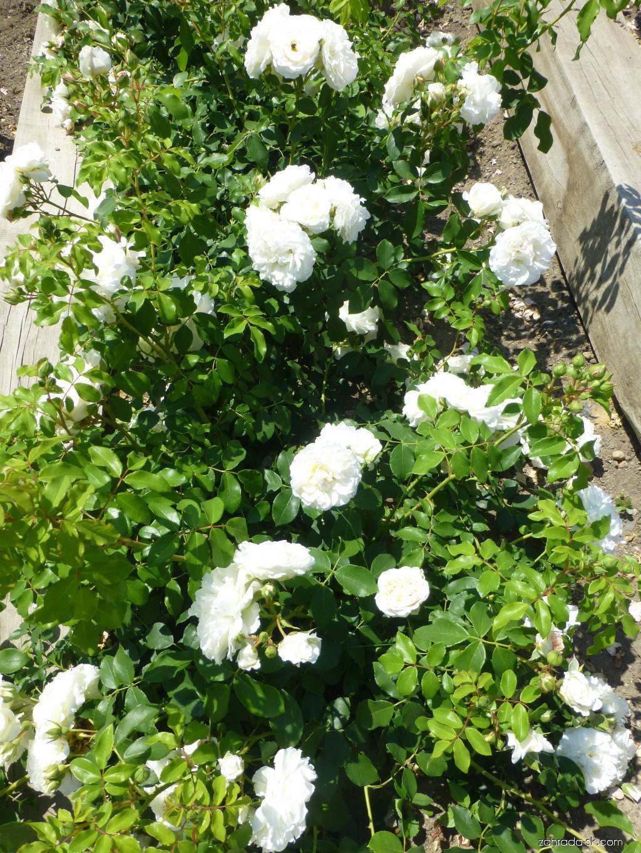 Ruža - Rosa Kosmos