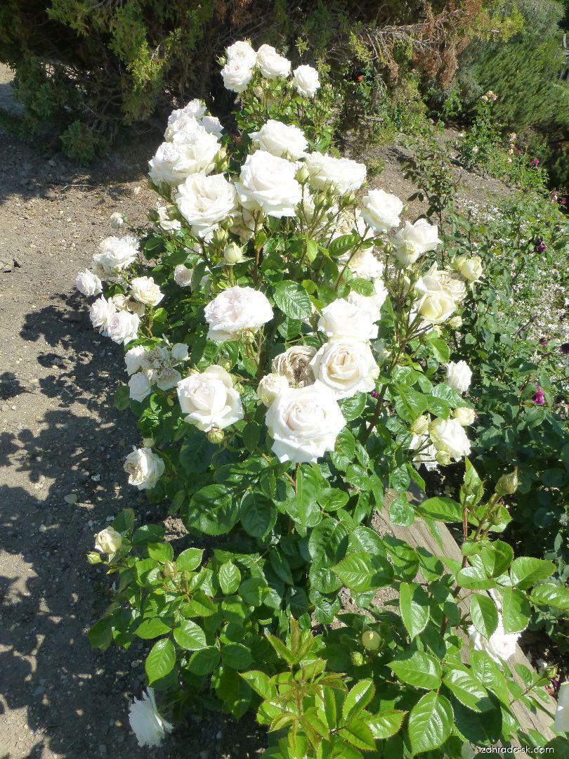 Ruža - Rosa Madame Anisette