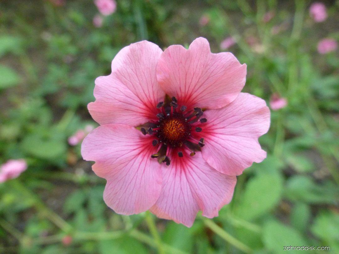 Mochna nepálská Helen Jane - květ (Potentilla nepalensis)