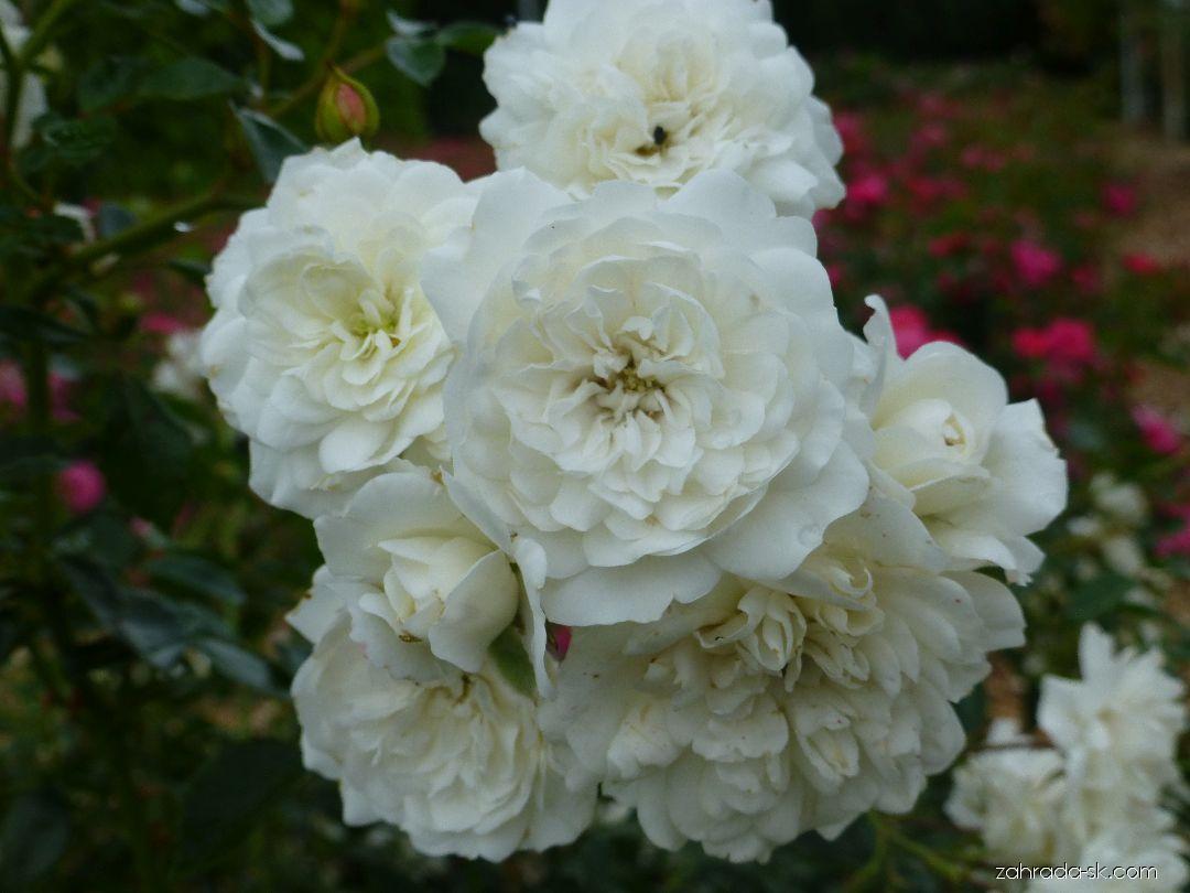 Ruža - Rosa Swany