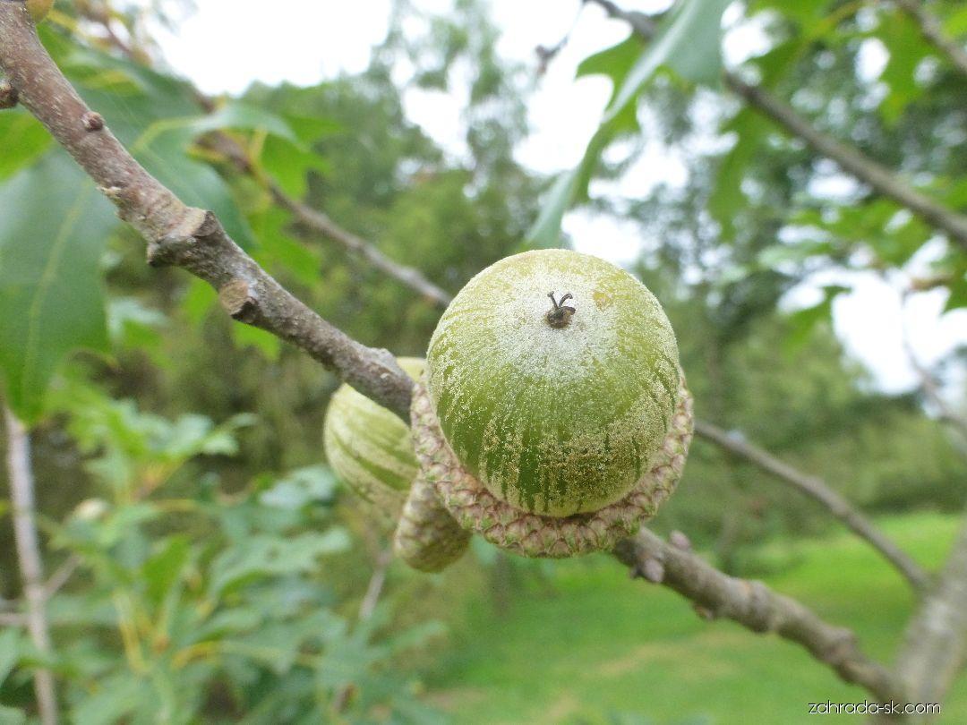 Dub - větévka s plodem (Quercus x fernaldii)