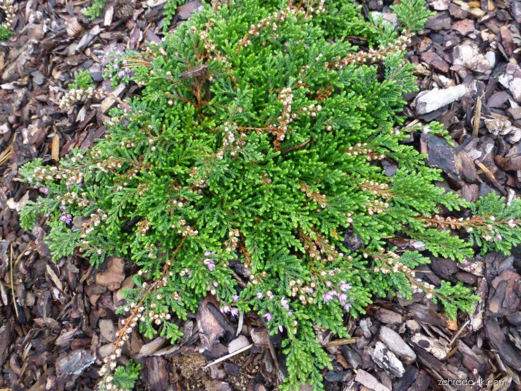 Vřes obecný Alys Sutcliffe (Calluna vulgaris)