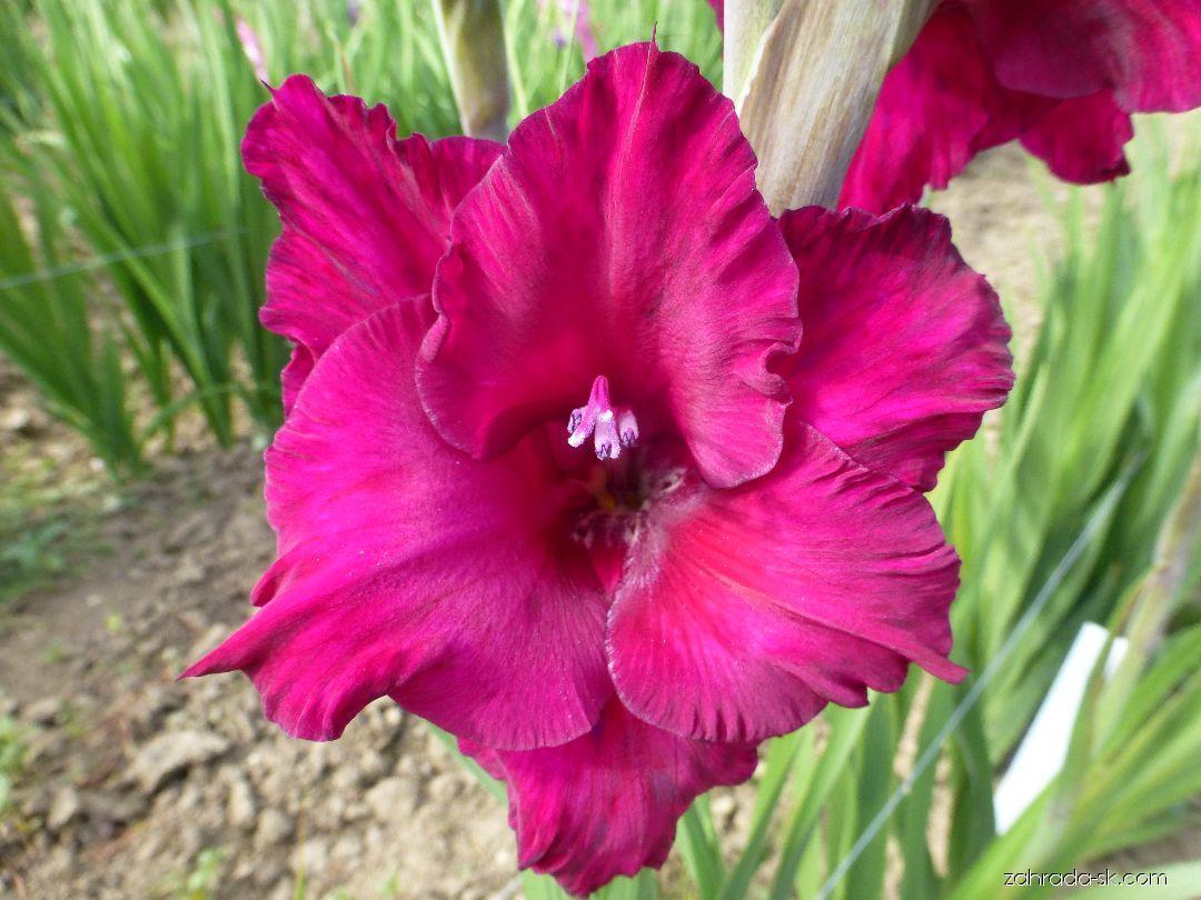 Mečík Plum Tart - květ (Gladiolus x hybridus)