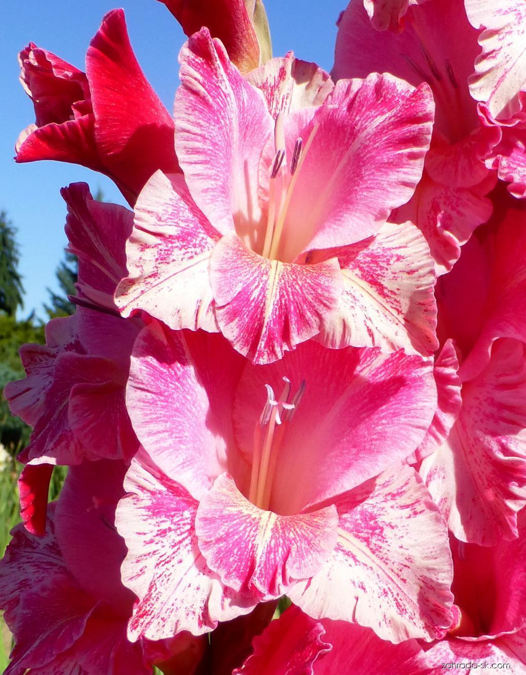 Mečík Merope Exotic - květ (Gladiolus x hybridus)